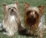 Rainey's Yorkies